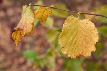 closeup of hazel tree leaves in autumn