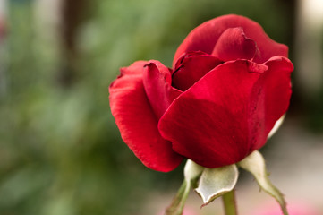 Rosa rossa color rosso sangue