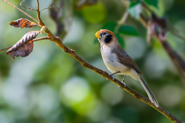 Spot-breasted Parrotbill or Paradoxornis guttaticollis, beautiful brown bird perching on branch with green background at Doi sun juh, Thailand.