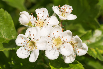 Blüten des Zweigriffeligen Weißdorns (Crataegus laevigata)