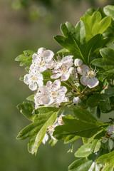 Blüten und Blätter des Eingriffeligen Weißdorns (Crataegus monogyna)