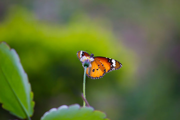 The Plain Tiger  butterfly sitting on the flower plant with a nice soft background in its natural habitat during the day