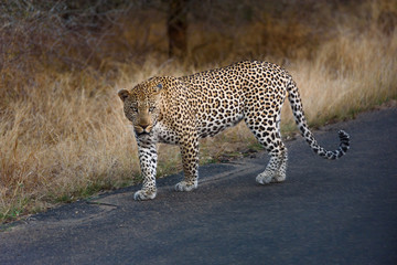 libbard on the road in krueger national park south africa