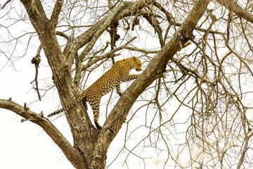Leopard sitting in tree - Africa wild cat