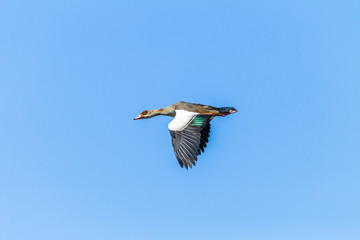 Bird Flying Egyptian Goose Mid Flight