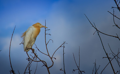 Cattle Egret sitting on the tree in its natural habitat in a soft blurry background.