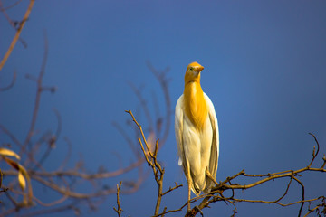 Cattle Egret sitting on the tree branch  in its natural habitat in a soft blurry background.