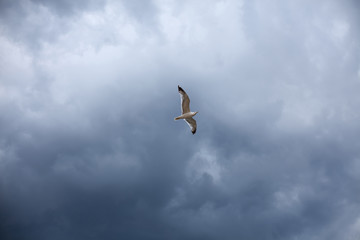 The stormy sky, the white seagull under the thunderclouds