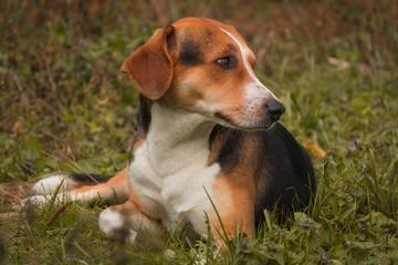 Estonian Hound. Dog lies on grass in autumn outdoor