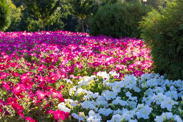 Beautiful bright flower bed colors Impatiens. Green trees around the edge and inside are red and white flowers are separate. Landscaping flowers and small trees.