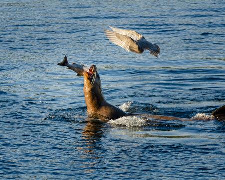 Sea Lion Salmon Fishing