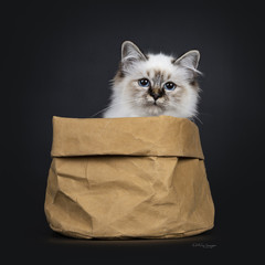 Stunning tabby point Sacred Birman cat kitten sitting in brown paper bag looking over edge straight in camera lens with mesmerizing blue eyes, isolated on black background