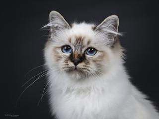 Head shot of stunning tabby point Sacred Birman cat kitten beside camera lens with mesmerizing blue eyes, isolated on black background