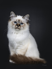 Stunning tabby point Sacred Birman cat kitten sitting with tail around body and looking into lens with marvelous blue eyes, isolated on black background
