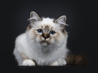 Stunning tabby point Sacred Birman cat kitten, laying down and looking curious into lens with marvelous blue eyes, isolated on black background