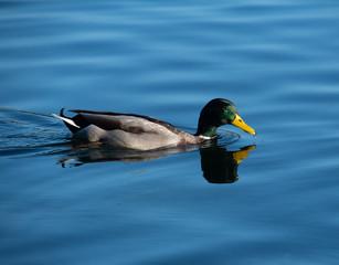 Mallard on blue water