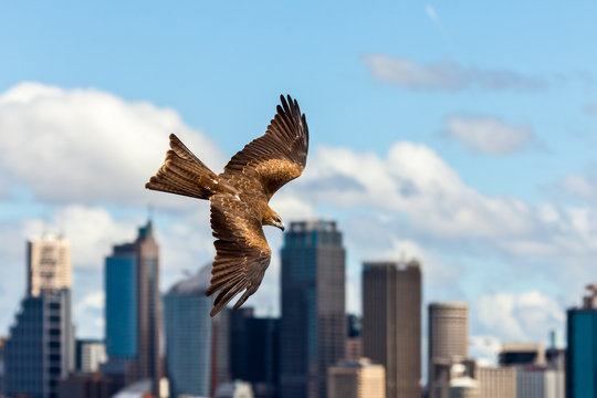 Black kite raptor in flight with Sydney skyline in the background