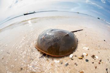 Atlantic Horseshoe Crab Crawling on Edge of Ocean