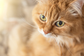 Cute fluffy orange cat with big eyes looks at camera, copy space