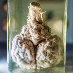 Reserved animal brain in liquid formaldehyde in glass jar in scientific veterinary laboratory