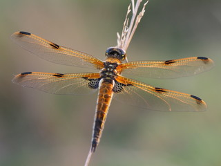 4-Fleck - Libelle