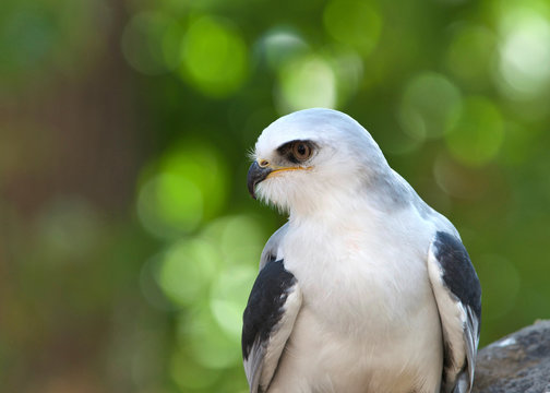Close up of one white tailed kite, a small raptor found in western North America and parts of South America