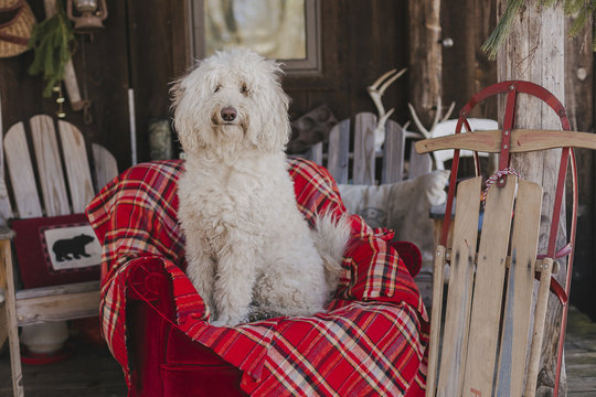 White dog sitting on plaid blanket in cabin