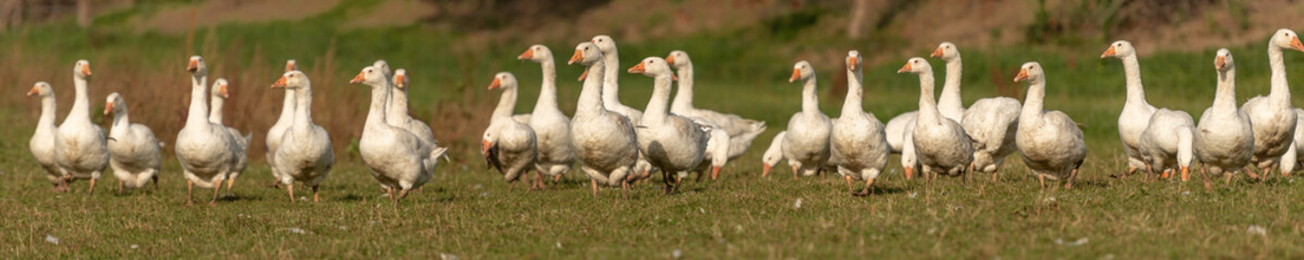 many white geese on a meadow