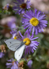 White Butterfly on Purple Aster Flowers