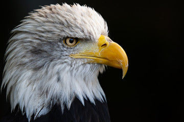 Fototapete - Close up portrait of a bald eagle (Haliaeetus leucocephalus)