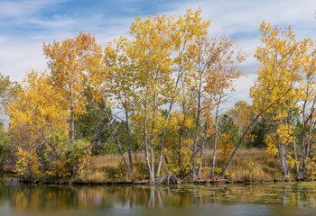 Golden Fall Trees Along Pond