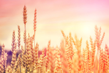 Wheat field. full of ripe grains, golden ears of wheat or rye close up on a blue sky background. small depth of field. Rich harvest Concept. majestic rural landscape. creative picture of nature