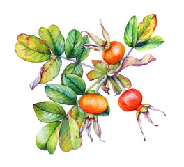 Watercolor realistic illustration of the rosehip plant branch with leaves and berries