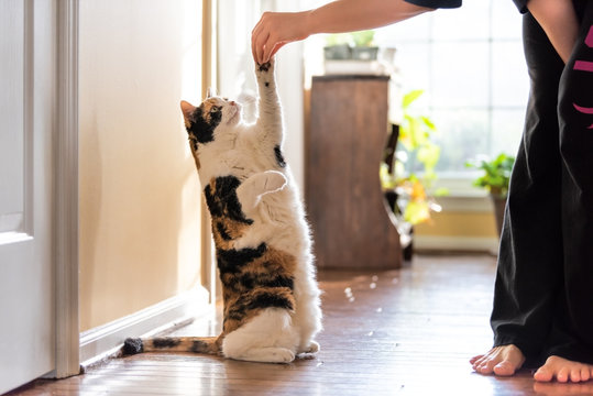 One calico cat standing up on hind legs, begging, picking, asking food, meat in living room, doing trick with front paw, claws with woman hand holding treat