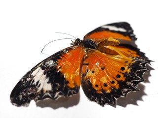 Dead orange butterfly On a white background