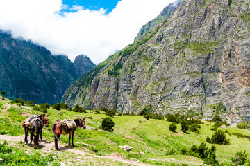 Mountain mules in Annapurna Conservation Area, Nepal