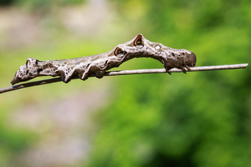 Image of brown caterpillar on a branch. Insect. Animal