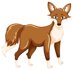 A fox on white background