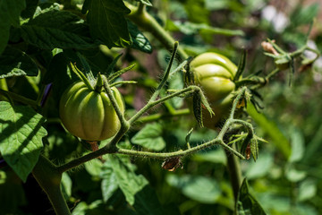 Green tomatoes on the vine with mild ambient light