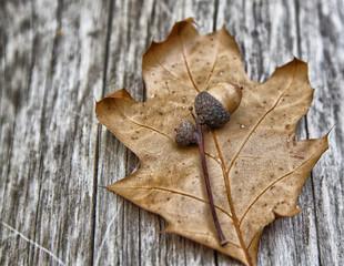 Eichel im Herbst