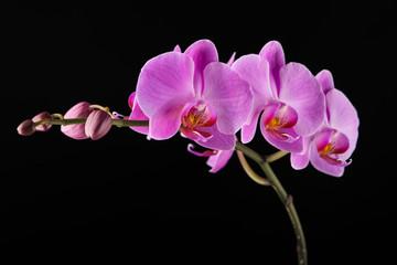 Purple Phalaenopsis orchid flowers on black background.