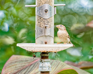 Sparrow at the bird feeder
