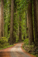 A Hiking trail in the Redwood State Park, California