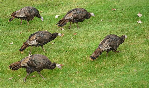 close up on wild turkeys on the meadow