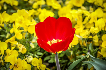 Tulip flower with Beautiful orange and red tulips on spring