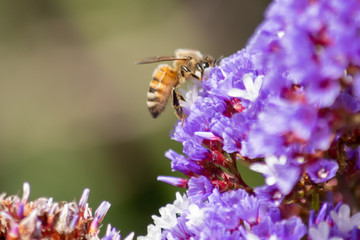 Honey Bee and Purple Flower Clusters