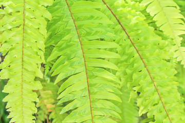 Close up green fern leaf texture patterns background,Drynaria quercifolia