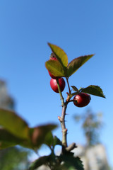 the red berries of the wild rose on blue sky background