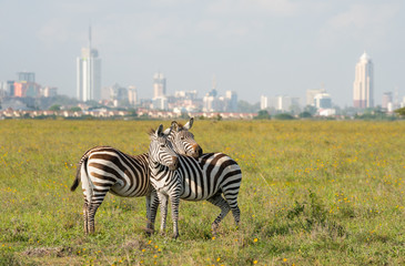 Wall Murals Zebra Zebras in Nairobi national park with Nairoby city in the background. Zebra puts head on back of other zebra in Nairobi, Kenya.