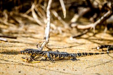Iguana walking on the sand on the beach of Sri Lanka.
